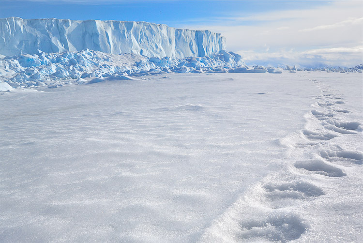 polar bear tracks Arctic