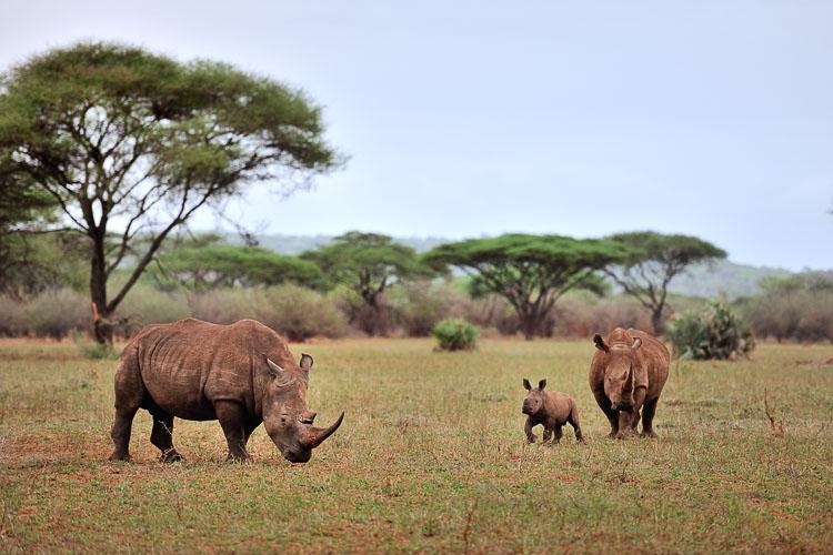 White Rhino, Zimbabwe