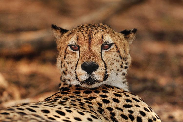 Cheetah Wilderness Sararis Davisons Camp