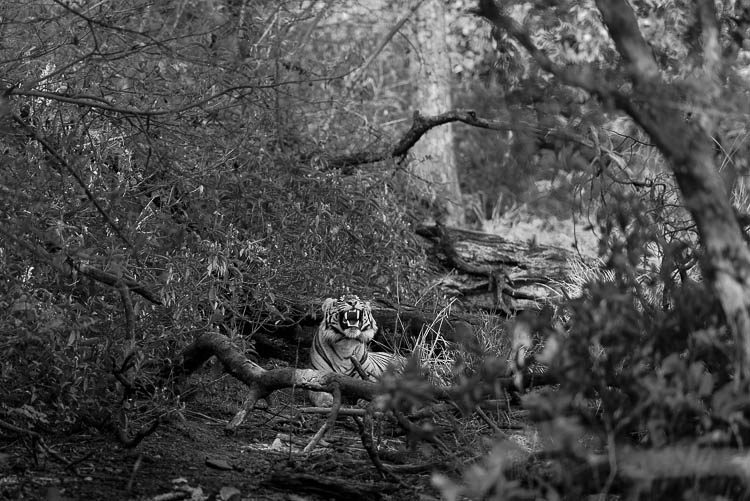 Ranthambhore National Park Tiger