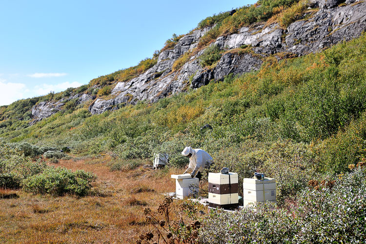 The Honey Maker - Greenland
