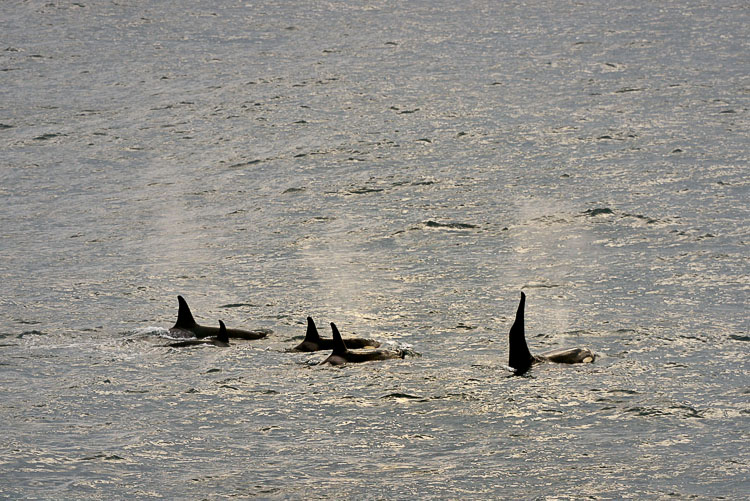 Orca watching in Glubokaya, Kamchatka